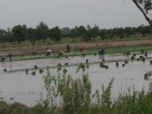 Son un promedio de 10 mil hectáreas de cultivos de arroz afectadas en esta región norteña.