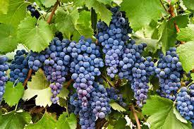 Aplican un sistema que puede reducir la pérdida de uva por plagas.