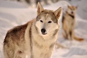 """Larson llegó para sumarse a la vasta jauría de """"El bosque de los Huskies"""" ."""