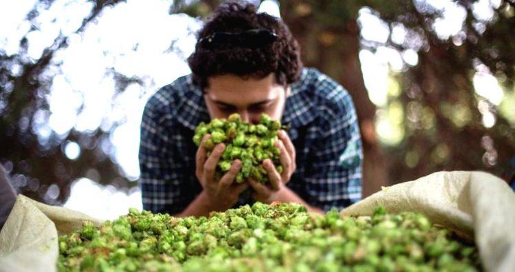 Lúpulo, temporada de cosecha